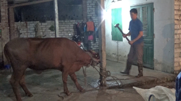 Article image for Australian cattle being killed with sledgehammers in Vietnam