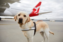 Rescue Dogs and Dogs on Planes – Dr. Tony Vigano From Swans Vets
