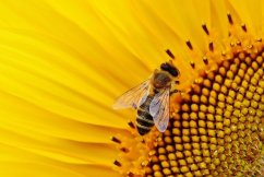 West Aussie bees are worth HOW MUCH to the economy each year?